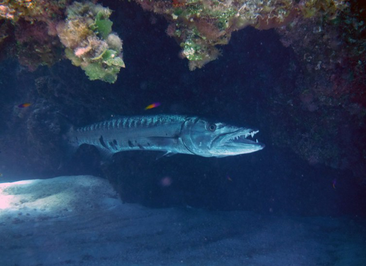 Toothy smile of a barracuda resting under a rock canopy at Monument Reef