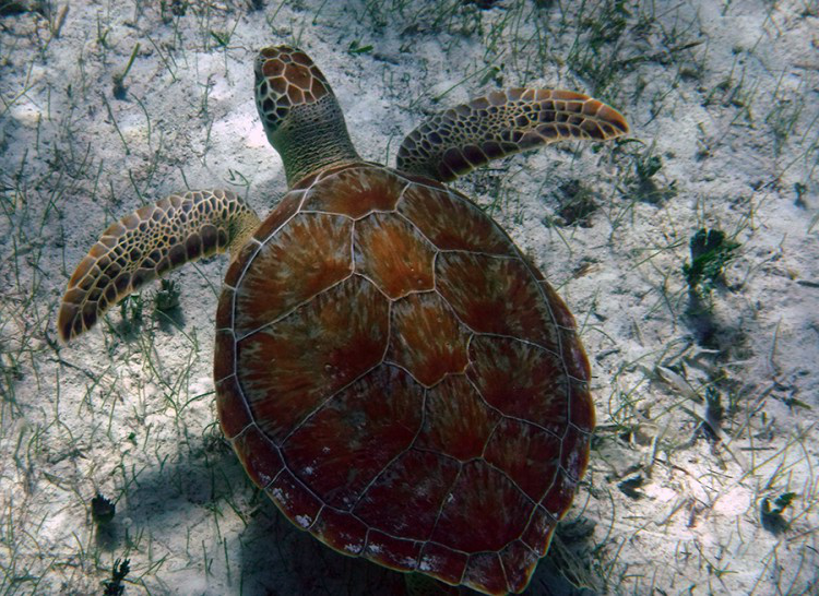 A Green Sea Turtle in Graham's Harbor